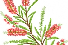 Bottlebrush-illustration- lemon bottlebrush