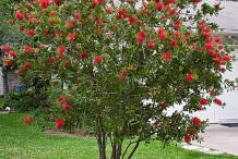 Bottlebrush-plant-Calistemone