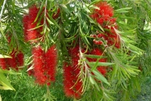 Bottlebrush-Crimson bottle-brush