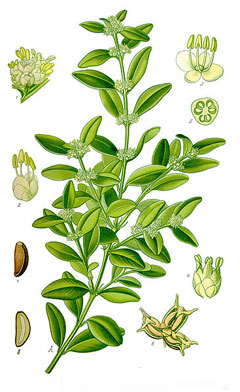 Boxwood-Herb-Illustration