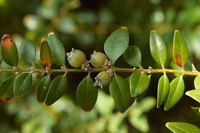 Boxwood-fruit-on-the-plant