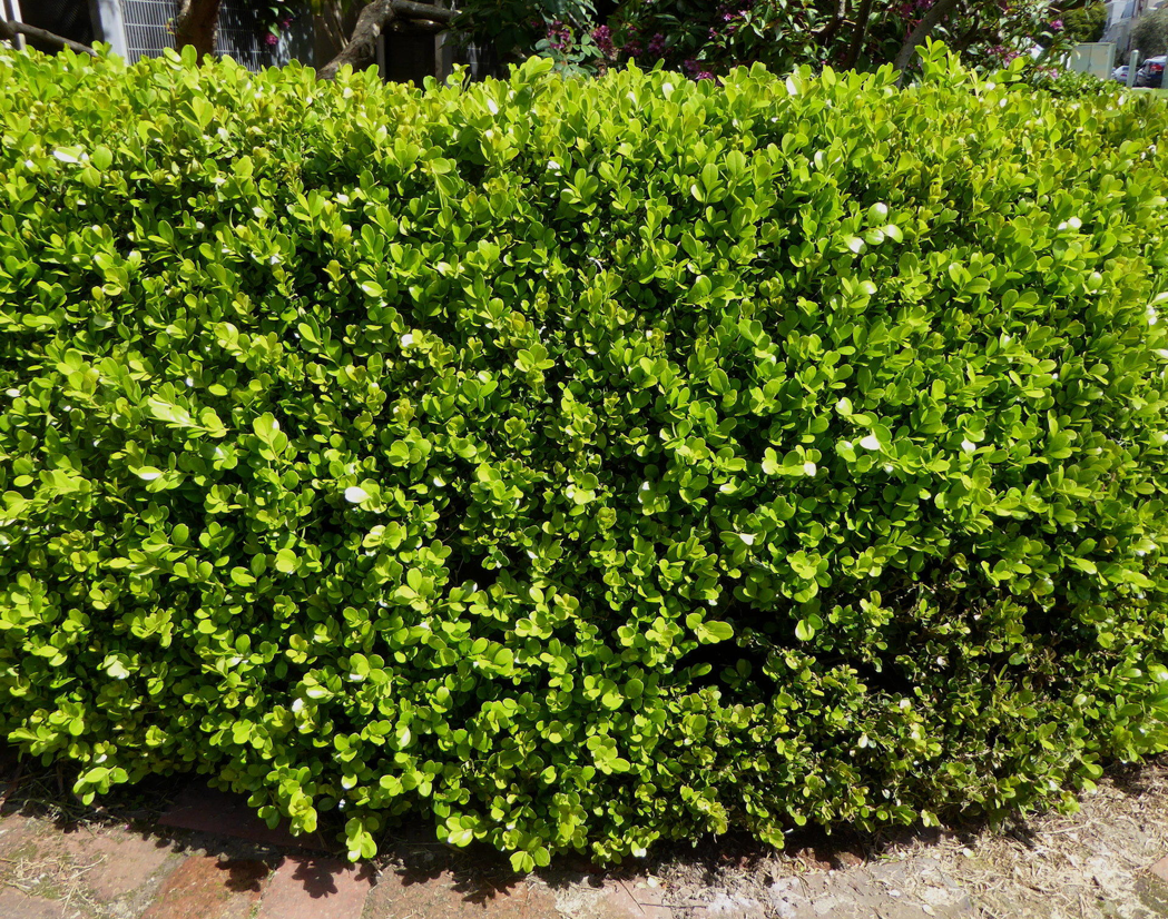 Boxwood-herb