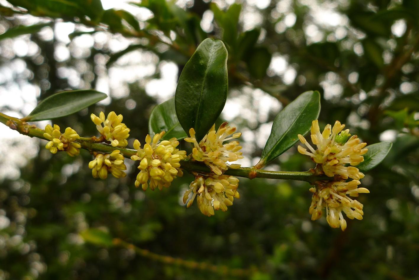 Flower-of-boxwood-herb
