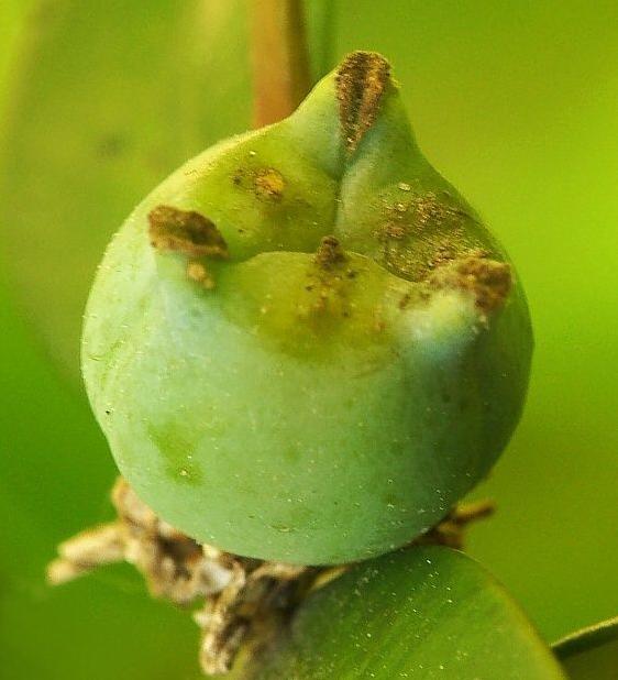 Fruit-of-Boxwood-herb