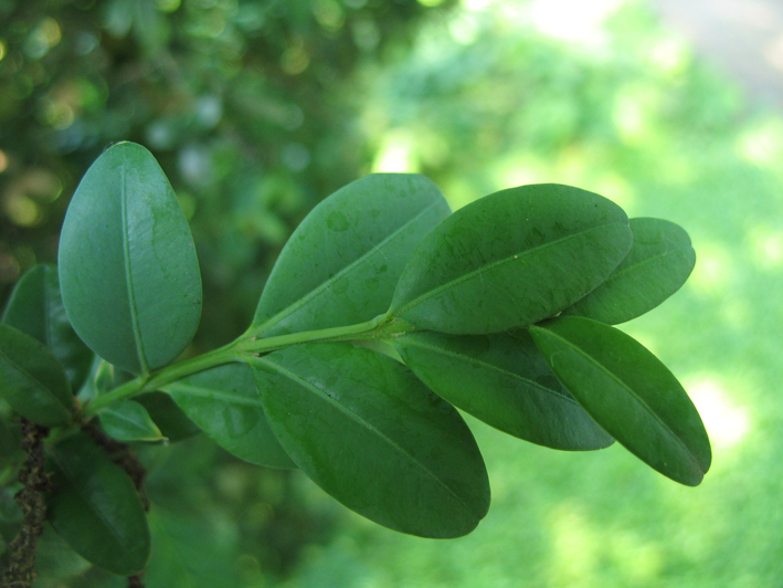 Leaf-of-Boxwood-herb