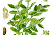 Boxwood-Herb-Illustration