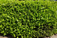 Boxwood-herb