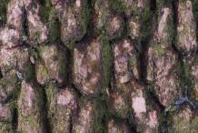Bark-of-Boxwood-herb