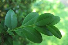 Leaf-of-Boxwood-herb