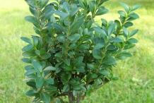 Small-Boxwood-herb