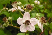 Boysenberry-close-up-flowers