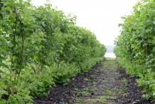 Boysenberry-farm