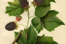 Illustration-of-Boysenberry-plant