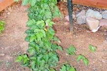 Boysenberry-plant