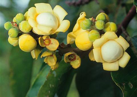 Brazil-nut-flowers