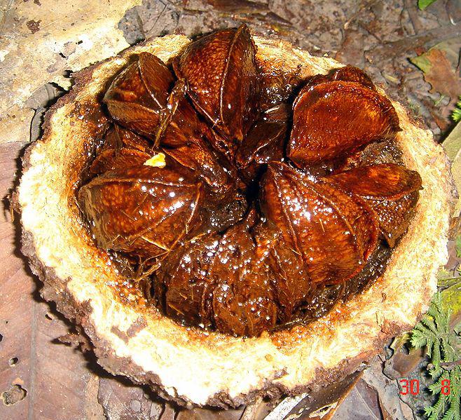 Brazil-nuts-inside-the-fruit