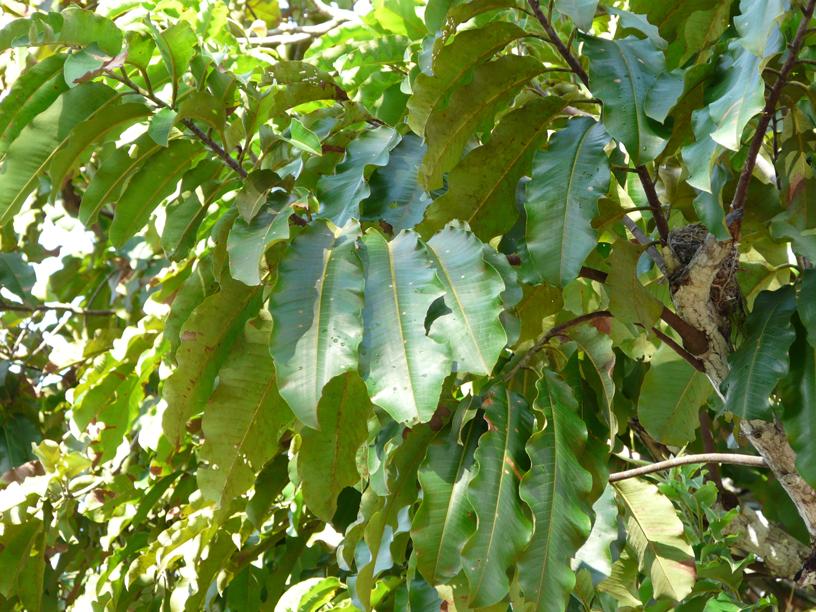 Leaves-of-Brazil-nut
