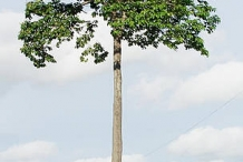 Brazil-nut-tree