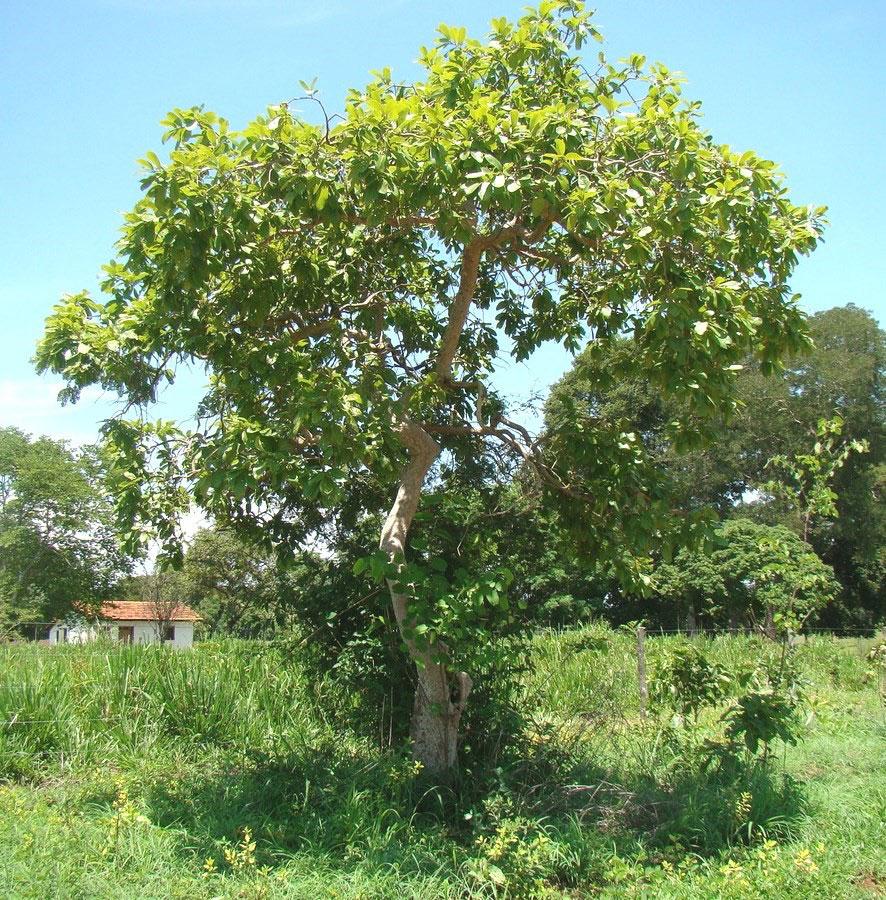 Brazilian-guava-plant