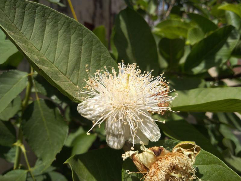 Closer-view-of-Flower-of-Brazilian-guava