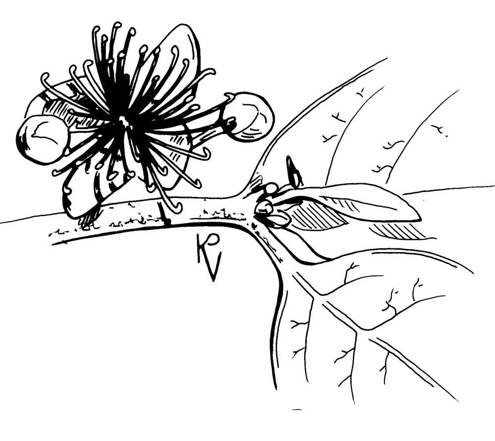Sketch-of-Brazilian-guava