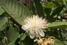 Closer-view-of-Flower-of-Brazilian-guava