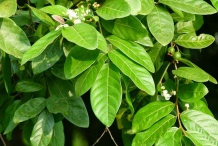 Leaves-of-Brazilian-guava