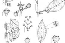 Plant-Illustration-of-Brazilian-guava