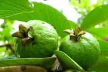 Unripe-Brazilian-guava