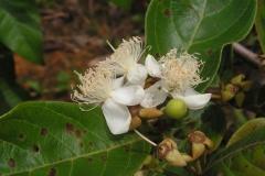 Flower-of-Brazilian-guava