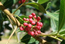 Fruit-of-Brazilian-Pepper-Tree