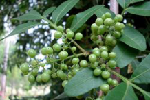 Closer-view-of-the-unripe-fruit