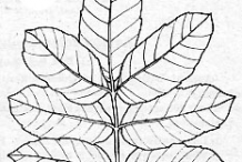 Sketch-of-Brazilian-Pepper-Tree