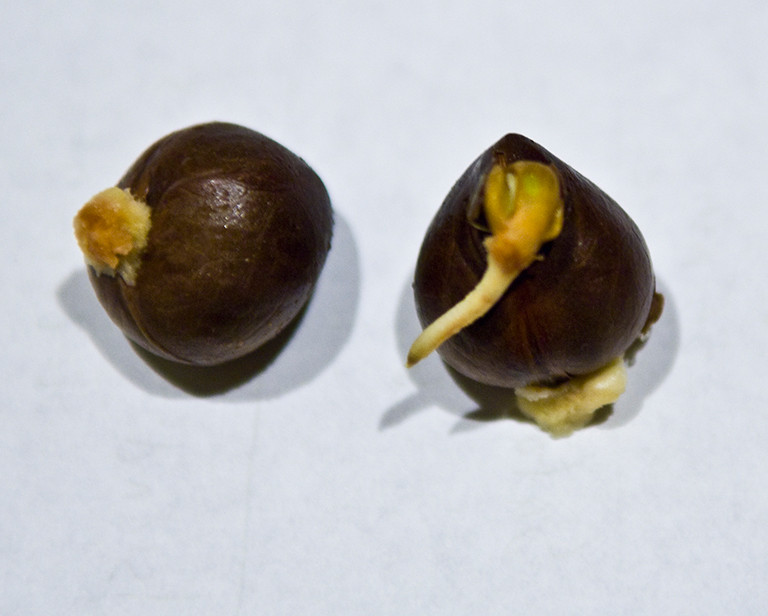 Breadfruit-seeds-2