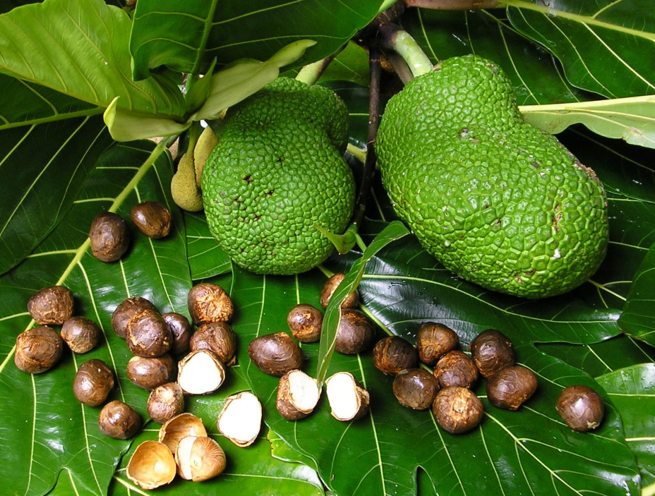 Breadfruit-seeds-3