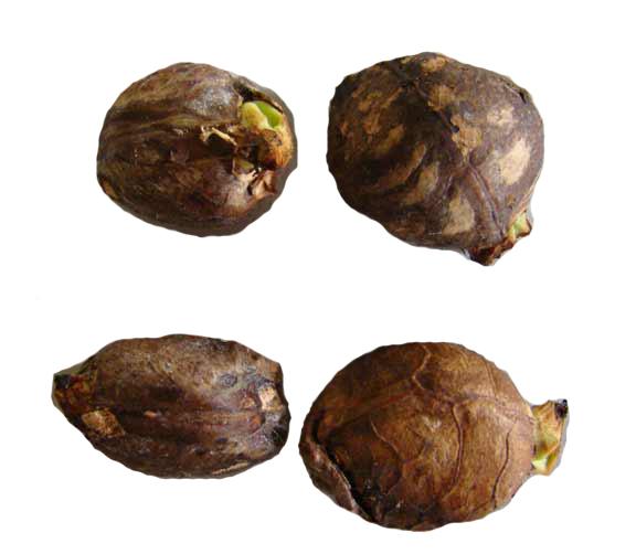 Breadfruit-seeds-6