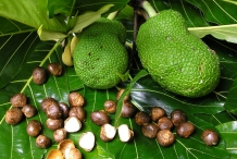 Breadfruit-seeds-3