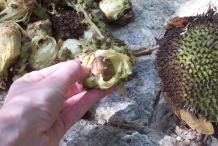 Breadfruit-seeds-with-fruit