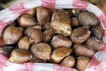 Breadfruit-seeds-4