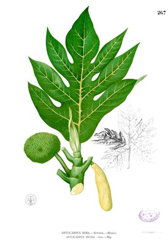 Breadfruit-plant-illustration