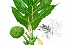 Breadfruit-plant-illustration