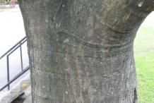 Breadfruit-trunk