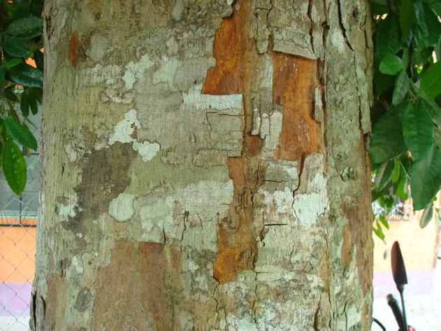 Bark-of-Breadnut-tree