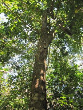 Breadnut-Tree