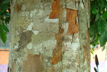 Bark-of-Breadnut-tree