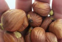 Breadnut-Seeds