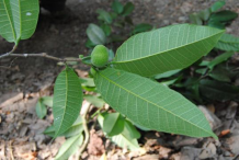Leaves-of-Breadnut-plant