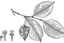 Sketch-of-Breadnut