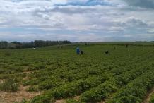 Broad-beans-farm
