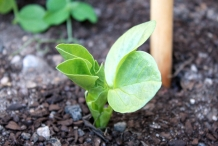 Seedlings-of-Broad-beans